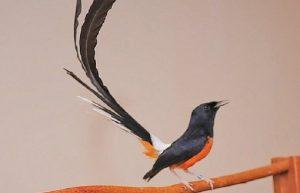 suara kicau burung
