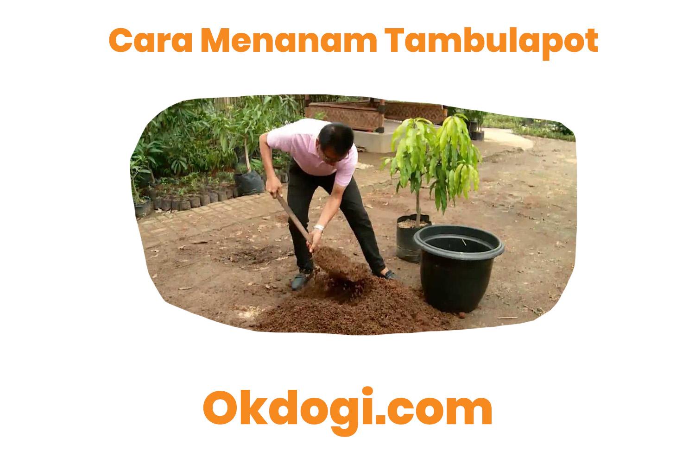 cara menanam tambulapot