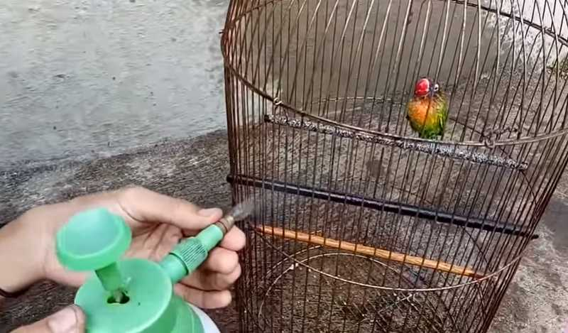 memandikan lovebird