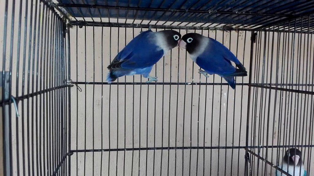 lovebird double factor