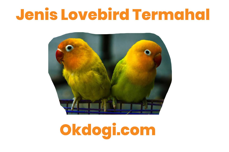 5 Jenis Lovebird Yang Bisa Di Bilang Termahal