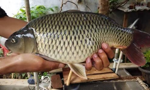ikan tombro