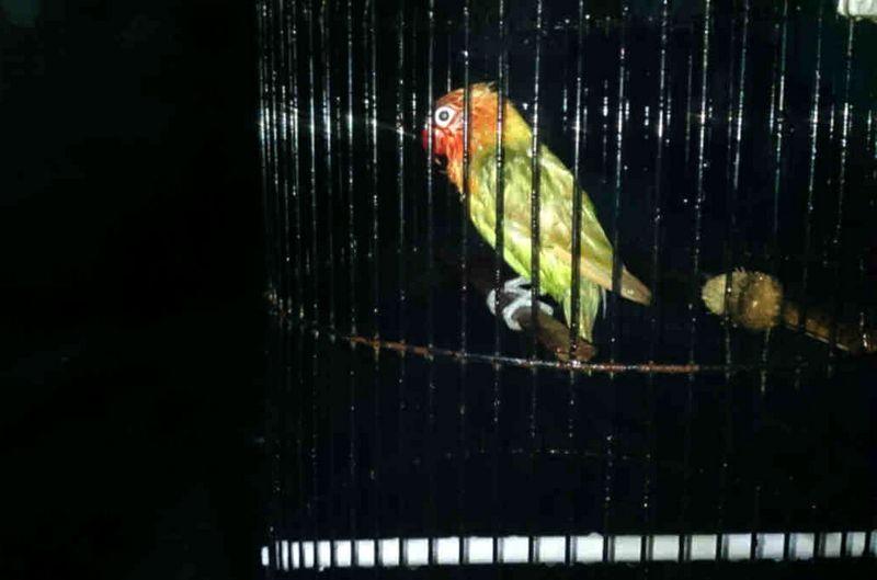 mandi malam lovebird