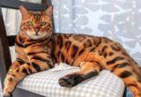 Gambar kucing hibrida
