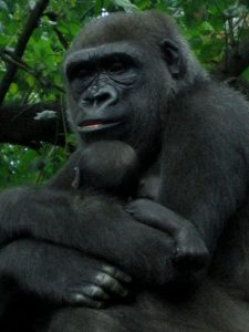 Hewan Gorila