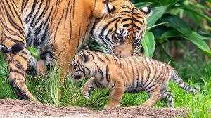 hewan buas, harimau sumatera