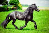 Gambar Kuda Friesian