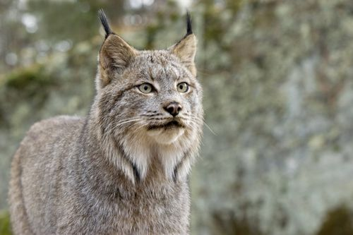 Gambar Lynx