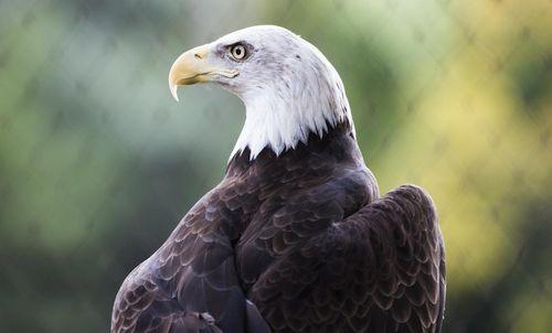 Gambar elang botak