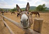 Gambar keledai
