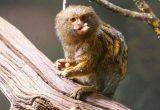 Gambar marmoset