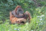 Gambar orangutan sumatra