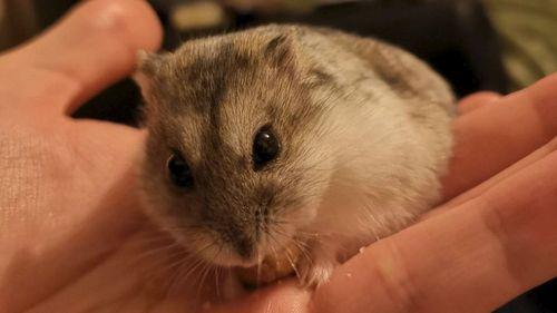 Hamster lucu