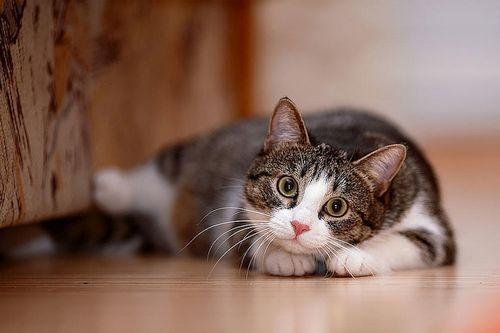 Kucing Gila