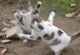 Kucing berantem