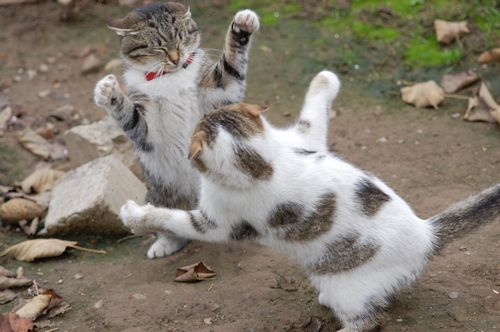 cara mendamaikan kucing berantem