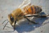 Lebah Pembunuh