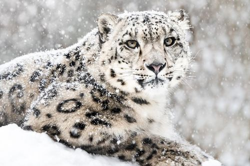 Macan Tutul Salju