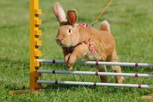 Olahraga kelinci