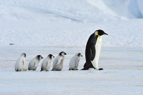 Penguin kaisar