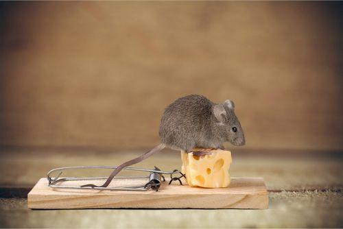 Tikus rumahan