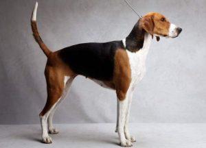 anjing pemburu american foxhound