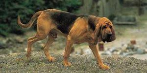 anjing pemburu bloodhound