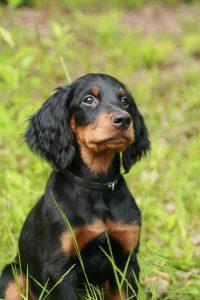 anjing pemburu gordon setter