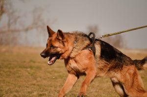 anjing pemburu