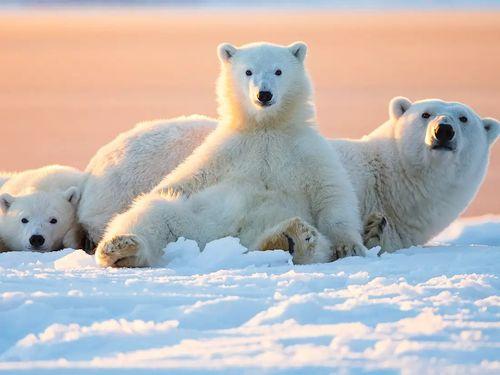 beruang polar