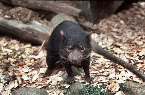 hewan Tasmanian Devil