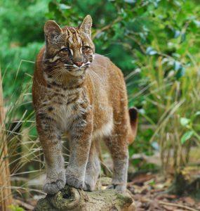 kucing hutan emas