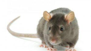 bau yang tidak disuaki tikus